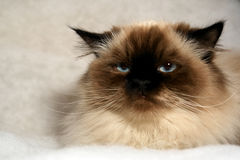 Grumpy cat. Grumpy looking himalayan cat looking at viewer with big blue eyes on fake white snow Stock Image