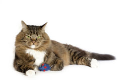 Grumpy Cat with Catnip Mouse. A tabby cat with grumpy expression on white background Stock Photo