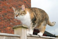 Grumpy cat on garden fence. Ginger tortoiseshell domestic pet cat walking along a garden fence looking grumpy Stock Photography