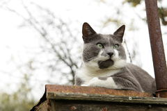 Grumpy cat on roof Royalty Free Stock Photo