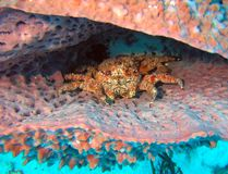 Grumpy Crab in a Barrel Sponge royalty free stock images