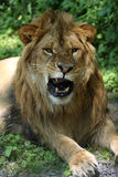 Grumpy Days. Closeup of a male Lion snarling at the camera Stock Photo