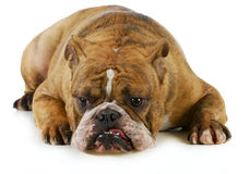 Grumpy dog. English bulldog with grouchy expression laying down on white background Stock Photos