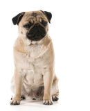 Grumpy dog Stock Images
