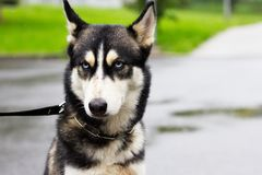 Grumpy dog in the rain, siberian husky. On a walk in a city at rainy day, cute pet stock image