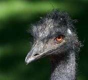Grumpy Emu Bird 2 Royalty Free Stock Photography