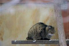 Grumpy European wildcat (Felis silvestris silvestris) sitting on a board.  Royalty Free Stock Images