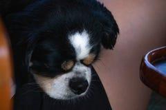 Grumpy face sleeping puppy closeup stock images