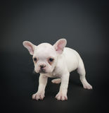 Grumpy French Bulldog Puppy Stock Photos