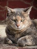 Grumpy tortoiseshell tabby cat sitting with folded paw in front of red step royalty free stock photography