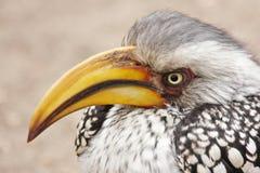 Grumpy Hornbill. A grumpy looking yellowbilled hornbill, tockus flaviostiris stock photo