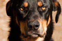Grumpy hundframsida arkivbilder
