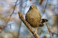 Perched in a tree, a Jungle Babbler looks very grumpy Stock Image