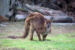 grumpy känguru Arkivbilder