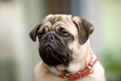 Grumpy little dog Stock Image