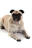 Grumpy Look. Fawn Pug staring at the camera and isolated on white Royalty Free Stock Photo
