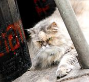 Grumpy looking fluffy cat with green eyes. royalty free stock photos