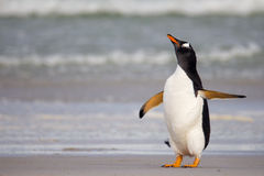 Grumpy looking Gentoo Penguin royalty free stock photography