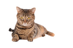 A Grumpy Looking Tabby Cat Stock Images