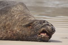 Grumpy male sealion Stock Image