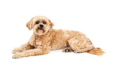 Grumpy Maltese and Poodle Mix Dog Laying. A very cute and grumpy Maltese and Poodle Mix Dog laying and looking into the camera Stock Photos