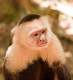 Grumpy Monkey Royalty Free Stock Photo