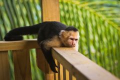 Grumpy monkey - White-faced capuchin lying on handrail. Costarican monkeys, sad monkey, lazy life, time to think about the life, time for yourself, time to royalty free stock photo