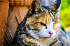 Grumpy old blind cat posing. This cat is the grumpiest animal Stock Photos
