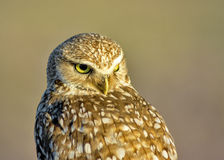 Grumpy old Owl in the morning sunlight Royalty Free Stock Photo