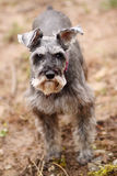 Old terrier Stock Images