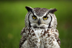 Grumpy Owl. Great Horned Owl against a blurred background Royalty Free Stock Photo