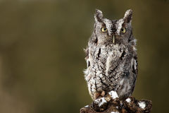 Grumpy Owl Royalty Free Stock Photos