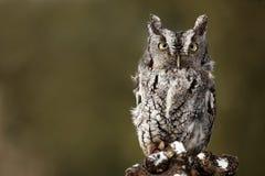 grumpy owl royaltyfria foton