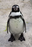 Grumpy Penguin Royalty Free Stock Image