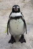 Grumpy Penguin Royalty Free Stock Image