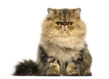 Grumpy Persian cat facing, looking at the camera. Front view of a grumpy Persian cat facing, looking at the camera, isolated on white Stock Image