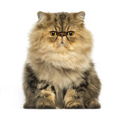 Grumpy Persian cat facing, looking at the camera. Front view of a grumpy Persian cat facing, looking at the camera, isolated on white Royalty Free Stock Image