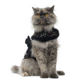 Grumpy Persian cat wearing a shiny harness stock photo