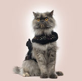 Grumpy Persian cat wearing a shiny harness, sitting Stock Photos