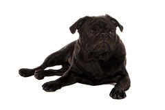 Grumpy pug Stock Image
