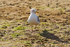 Seagull, Exmouth, Devon, UK Royalty Free Stock Photography