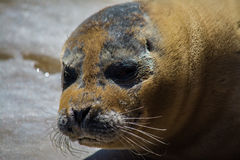Grumpy seal. At seal sanctuary,Mablethorpe,Lincolnshire Stock Images