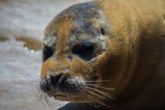 Grumpy seal Stock Images