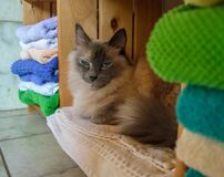 Grumpy Siam cat sitting next to a pile of towel