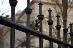 Grumpy sparrow looking directly at the viewer. Grumpy sparrow on a fence looking directly at the viewer Stock Photography