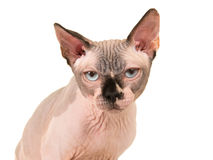 Grumpy sphinx cat portrait Royalty Free Stock Photo
