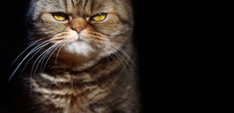 Grumpy tabby serious british cat on a black background, free spa Stock Photography