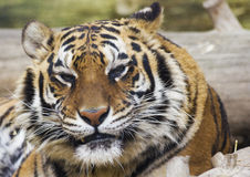 Grumpy Tiger. A tiger looking somewhat grumpy after awaking from a nap Stock Images
