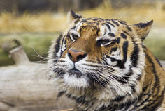 Grumpy Tiger. A tiger looking somewhat grumpy after awaking from a nap Royalty Free Stock Photo