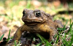 Grumpy Toad Royalty Free Stock Images